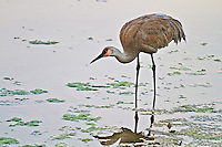 Sunrise Sandhill Crane, Yellowstone Lake