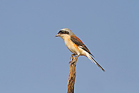 Bay-backed Shrike - Lanius vittatus