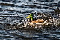 A Mallard splashes down, landing and sending up a spray of water.