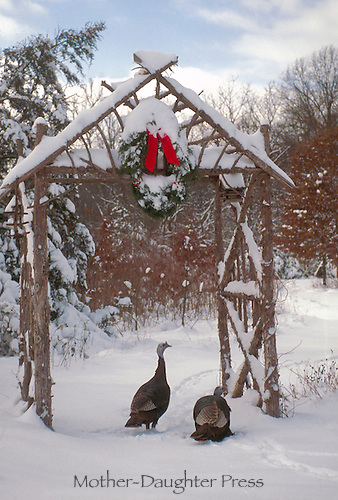 Two wild turkeys, meleagris gallapavo, standing beneath garden arbor with Christmas wreath and bow in snow.