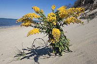 Seaside Goldenrod; Solidago sempervirens; on dune; NJ, Cape May