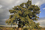 T-146 Mount Tabor Oak (Quercus ithaburensis) tree in Taybe