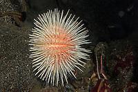 Langstachliger Seeigel, Rotgelber Seeigel, See-Igel, Echinus acutus, red-yellow sea urchin