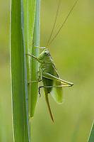 Zwitscherschrecke, Zwitscher-Heupferd, Weibchen mit Legebohrer, Zwitscherheupferd, Zwitscher-Schrecke, Heupferd, Tettigonia cantans, twitching green bushcricket, twitching green bush cricket, twitching green bush-cricket, female, Tettigoniidae