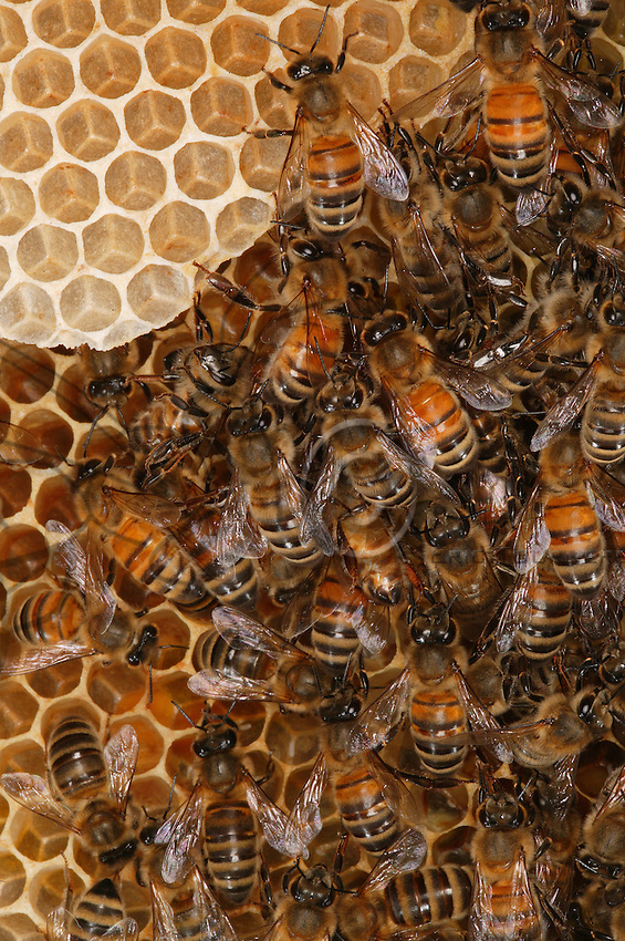 Bee on a comb in the beehive.