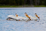 A flock of white pelicans feeding cooperatively on Jackson Lake in the Grand Teton National Park, Wyoming
