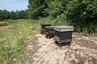 Honey bees and bee hive close to a farmers field