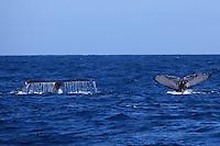 (((ACOMPAÑA CRÓNICA-R.DOMINICANA-BALLENAS))) STO01. SAMANÁ (REPÚBLICA DOMINICANA), 02/03/2011.- Fotografía facilitada hoy, martes 2 de marzo de 2011, que muestra dos ballenas jorobadas mientras se sumergen el pasado 23 de febrero en las aguas de la Bahía de Samaná (República Dominicana). La bahía de Samaná forma, junto al Banco de la Plata y el Banco de la Navidad, en el norte, el santuario de mamíferos marinos, que abarca una zona de 12.700 millas cuadradas, convirtiéndola así en el área protegida más grande del país caribeño. EFE/Orlando Barría