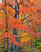 Maple tree in Belknap Mountains in New Hampshire