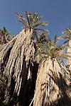 Israel, the Negev Desert. Date Palm trees ( Phoenix Dactylifera) in Wadi Zin