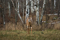 Young white-tailed buck during the Wisconsin rut.