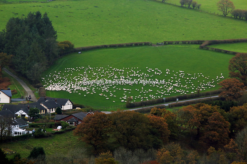 A flock of sheep in a field in Llangammarch Wells, Powys, Wales, UK