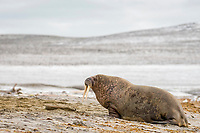 Atlantic walrus, Odobenus rosmarus rosmarus, on a beach, Phippsoya, Sjuoyane, Svalbard Archipelago, Svalbard and Jan Mayen, Norway, Europe