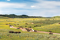 The Bison's singles scene where the Buffalo Roam at Hayden Valley in Yellowstone National Park.  The rut is an exciting time to visit Yellowstone to see the bison.