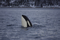 Killer whal,e Orcinus orca, Spyhopping in Fjord. Tysfjord, Arctic Norway