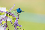 Male indigo bunting perched on a decorative fence.