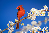 northern cardinal, Cardinalis cardinalis, adult male on blooming Mexican plum, Prunus mexicana, New Braunfels, San Antonio, Hill Country, Texas, USA, North America