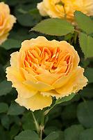 English Rose Rosa 'Molineax' aka 'Ausmol' yellow orange, Austin Rose 'Molineux