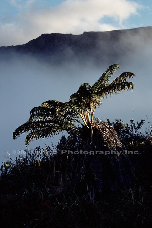 Fern, Maui
