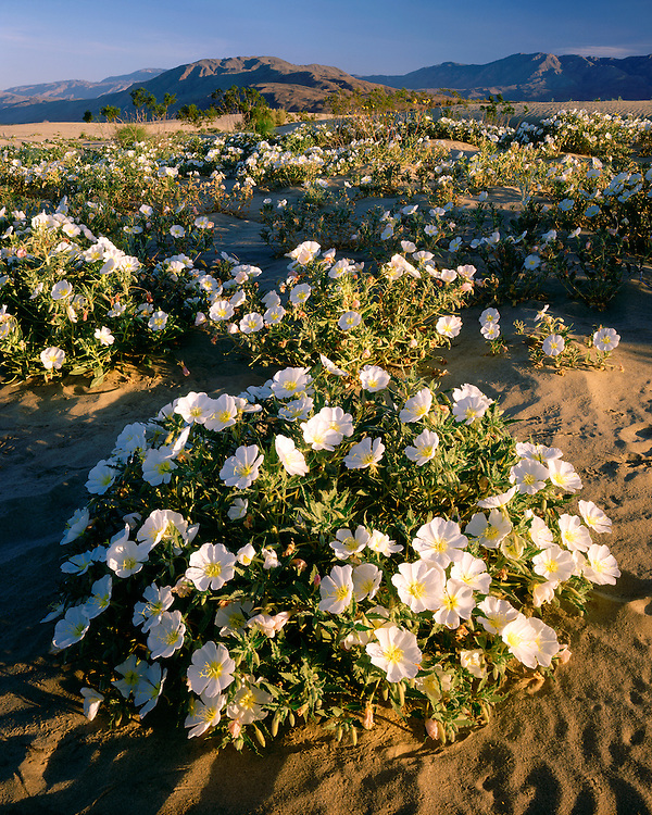 Morning light on a field of Evening Primrose (Oenothera sp.) on sand dunes; Anza Borrego Desert State Park, CA