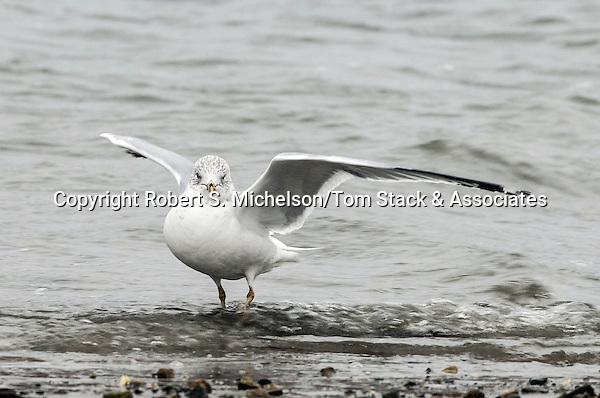 Ring-billed Gull landing while over-wintering in Hingham, Massachusetts