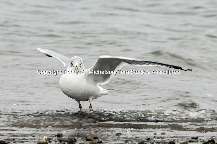 Ring-billed Gull landing while over-wintering in Hingham, Massachusetts