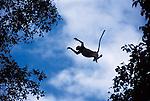 Jumbing proboscis monkey.Nasalis larvatus