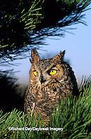01116-035.11 Great Horned Owl (Bubo virginianus) in pine tree    CO