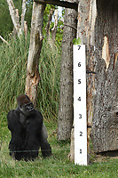 Lowland Gorillas<br /> at the London Zoo annual Weigh-In, Regents Park, London<br /> <br /> <br /> &copy;Ash Knotek  D3296  24/08/2017