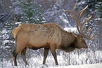 Bull Elk in snow, Jasper National Park, Alberta, Canada