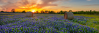 Texas bluebonnet in a field of haybales.