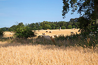 Rond barley bales - Norfolk, July