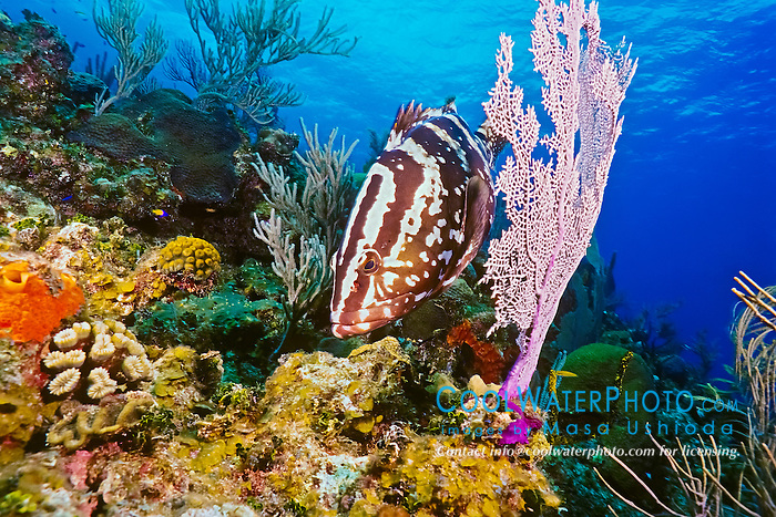 Nassau grouper, Epinephelus striatus, hunting for a reef fish prey, camouflaging itself as a part of sea fan, Bloody Bay Wall, Little Cayman, Cayman Islands, Caribbean Sea, Atlantic Ocean