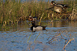 Drake ring-necked duck