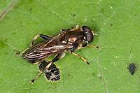 Gemeine Langbauchschwebfliege, Langbauch-Schwebfliege, Männchen, Schwebfliege, Xylota segnis, Common Red Leafwalker