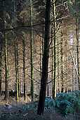 Pine forest in the Snowdonia National Park in North Wales