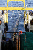 Deckhand overseeing trawl net being wound in during a pelagic trawl for Capelin in Barents sea. Arctic Norway