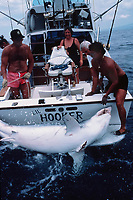 sport fisherman gaffs a mako shark Isurus oxyrinchus Big Island of Hawaii, USA, Pacific Ocean