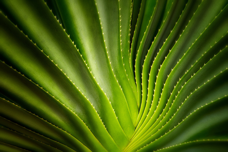 Close up of a succulent plant. Bora Bora. French Polynesia.