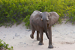 Namibia;  Namib Desert, Skeleton Coast,  young desert elephant bull (Loxodonta africana) in threatening pose.
