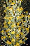 Longspine Horsebrush or Cottonthorn (Tetradymia axillaris longispina), Sierra Nevada Range, California, USA