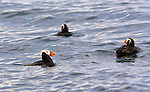 A trio of Tufted Puffins swim in the cold waters of the Strait of Juan de Fuca near Protection Island. Protection Island National Wildlife Refuge.Protection Island Refuge is located near the mouth of Discovery Bay in the Strait of Juan de Fuca in Jefferson County, Washington. Approximately 70 percent of the nesting seabird population of Puget Sound and the Strait of Juan de Fuca nest on the island, which includes one of the largest nesting colonies of rhinoceros auklets in the world and the largest nesting colony of glaucous-winged gulls in Washington. The island contains one of the last 2 nesting colonies of tufted puffins in the Puget Sound area. About 1,000 harbor seals depend upon the island for a pupping and rest area.
