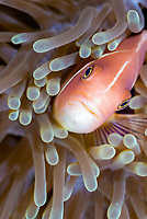 pink skunk clownfish, Amphiprion perideraion, Solomon Islands, Pacific Ocean