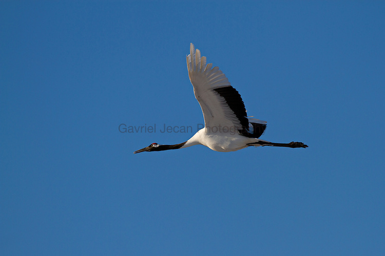 Red Crowned Japanise Crane (Grus japonensis ) desplying