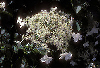 Hydrangea anomala petiolaris climbing hydrangea closeup of white lacy flower