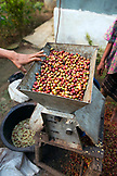 INDONESIA, Flores, coffee beans in a grinding machine that removes the outer shell