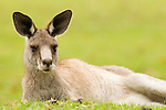 Eastern Grey Kangaroo (Macropus giganteus) resting, Jervis Bay, New South Wales, Australia