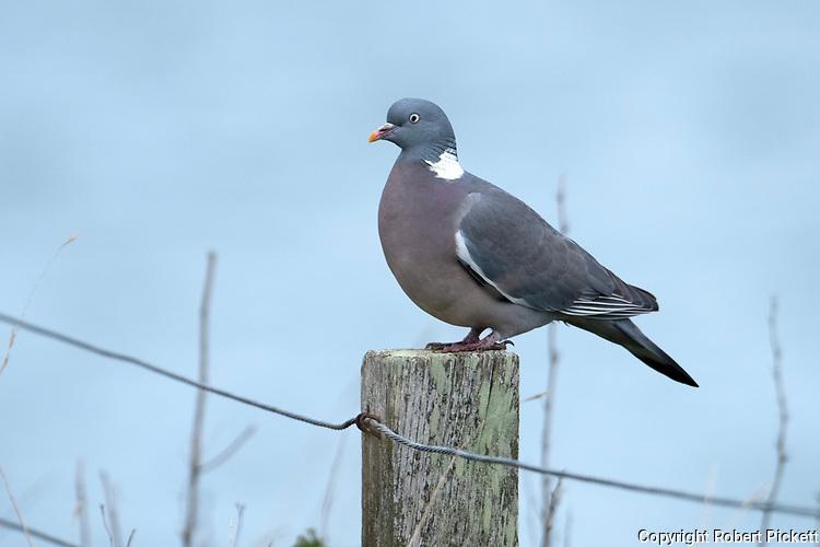 Common Wood Pigeon, Columba palumbus, perched on fence post, Sandwich KENT UK
