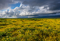 Carrizo Plain National Monument, CA: Clearing storm clouds over a field of yellow flowering goldfields (Lasthenia glaberrima)
