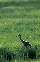 Sandhill Crane searching for food in wetland, Kenai River flats, Alaska